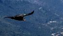 California condors spotted in Sequoia after nearly 50 years
